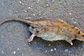 Rattenplaag in Malburgen